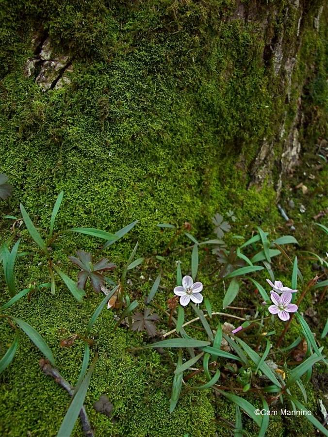 Spring beauty and moss make a wonderful green splash after a long winter