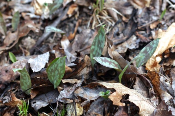 Mottled trout lily leaves soak up sunlight.