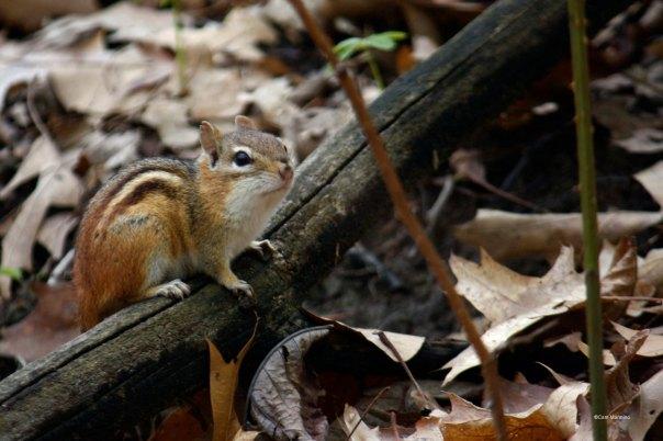 adult chipmunk