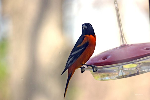 Baltimore Oriole at the hummingbird feeder