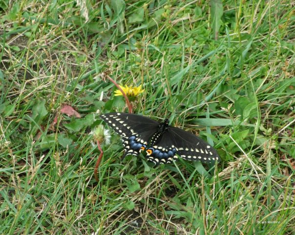 black morph female swallowtail
