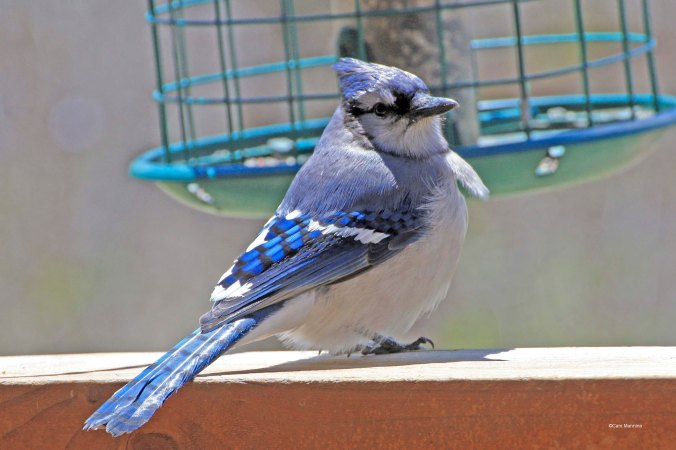 Blue Jay looking inside