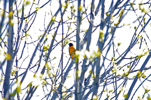 Female Baltimore Oriole at the center pond