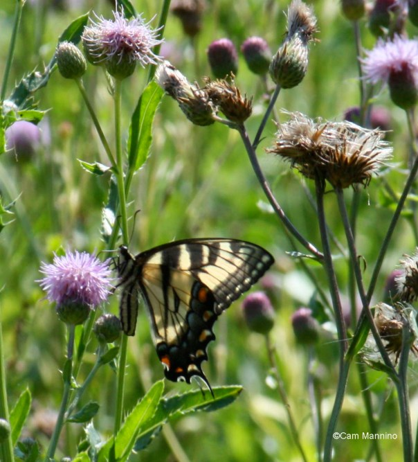 female swallowtail