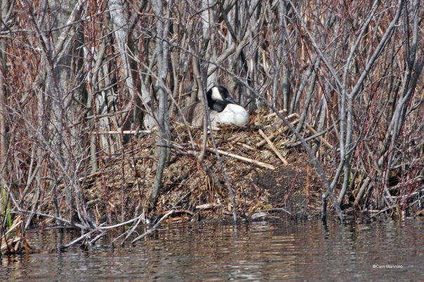 Goose nest high and dry