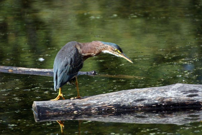 The Green Heron takes a closer look