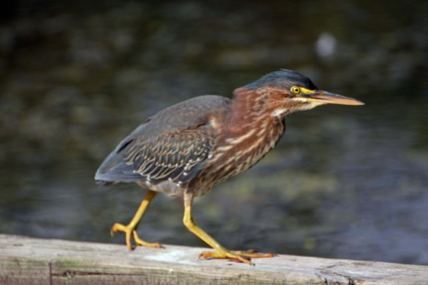The Green Heron walks along the log, satisfied
