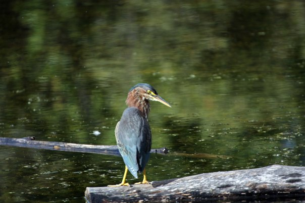 Green Heron spotting something.