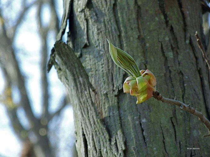 Hickory leaves emerging from the buds