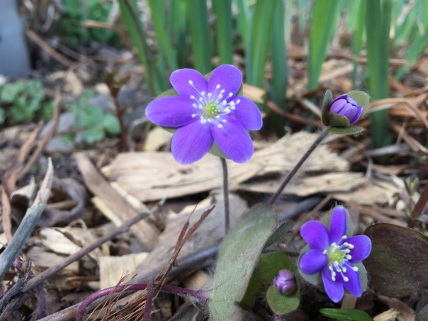 Hepatica flowers are almost done for the year, but you'll get to see their fuzzy leaves!