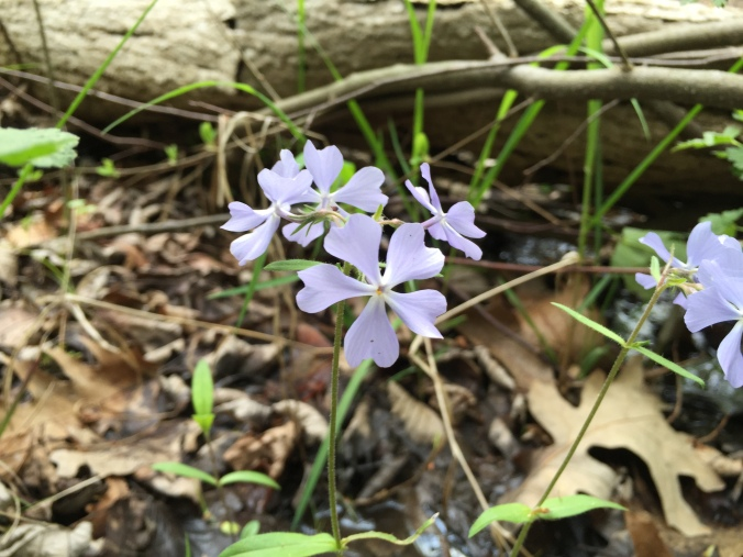 Wild blue phlox (Phlox divaricata) in moist woodland