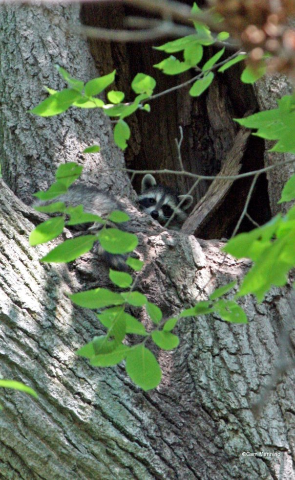 Raccoon peaking from White Oak
