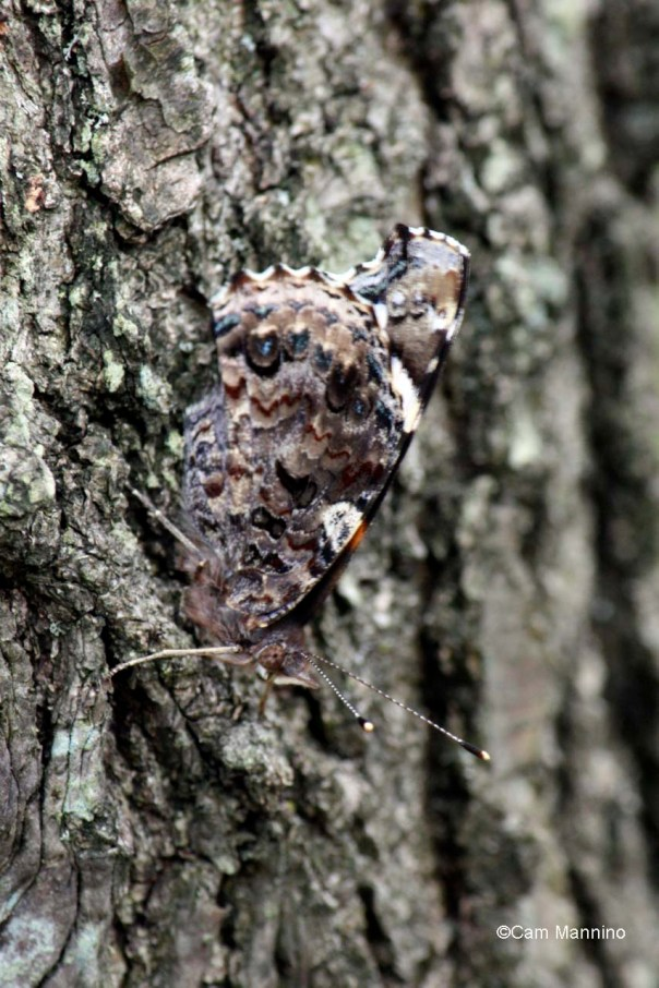 red admiral camouflage