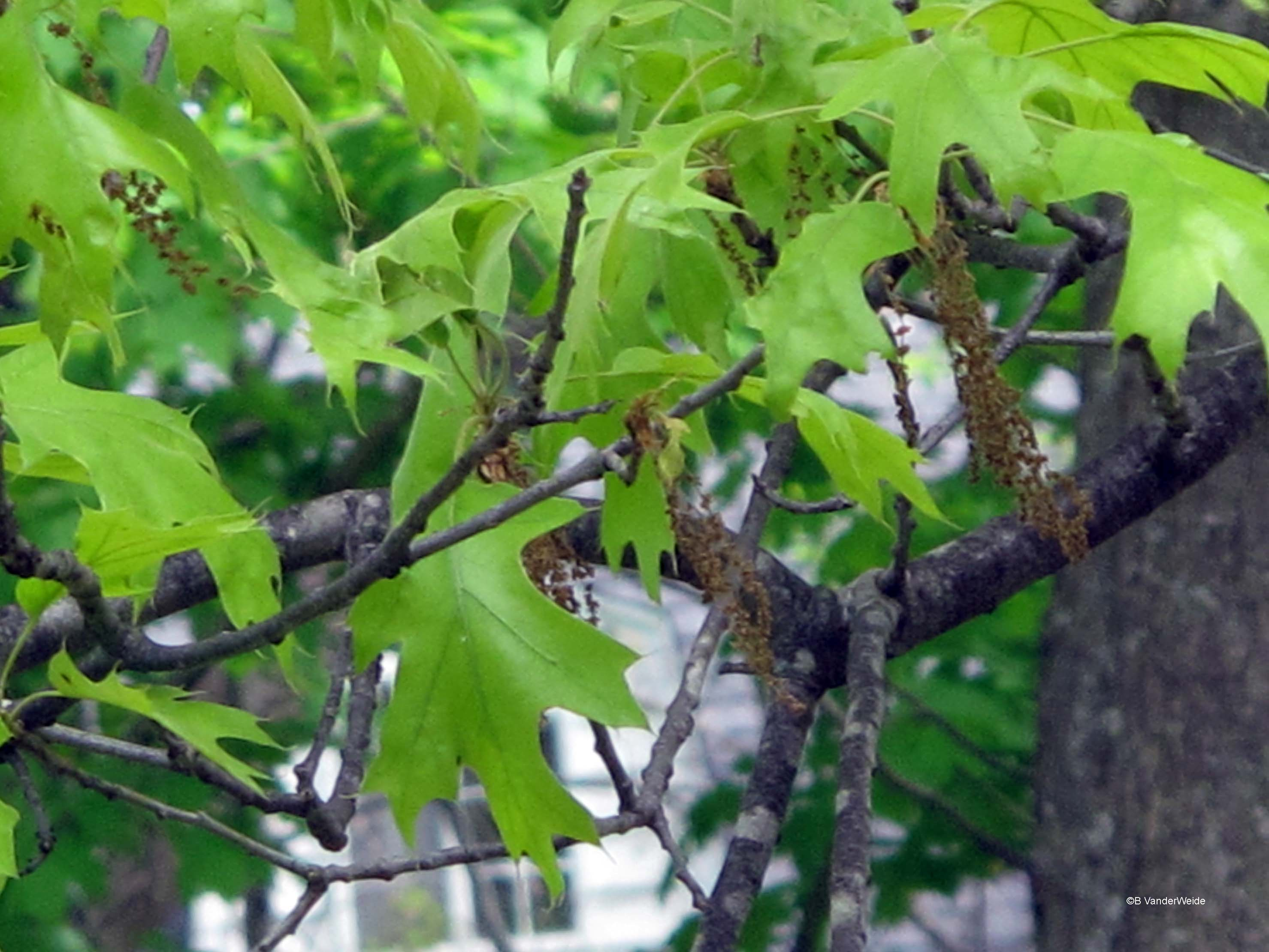 Red Oak Leaf ~ Hold it don t prune or wound that oak tree right now