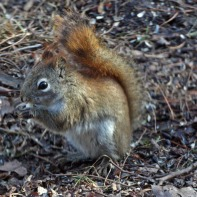 The resident Red Squirrel had moved to a nearby tree. This is a photo from Seven Ponds last year.