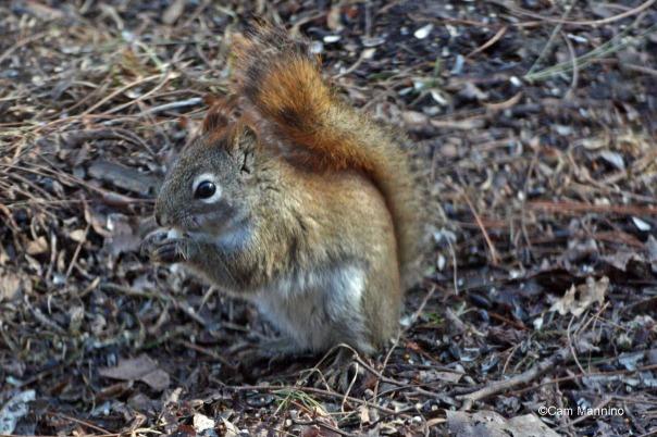 Red squirrel closeup