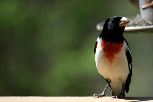 The elegant male Rose-Breasted Grosbeak. Photo by Cam Mannino.