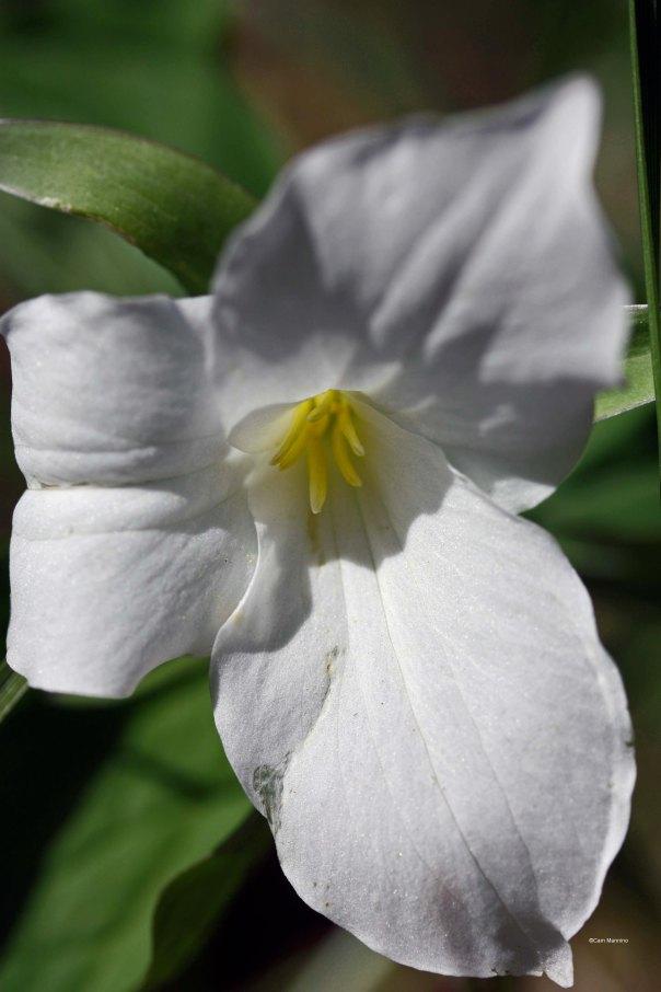 A close-up of a trillium flower