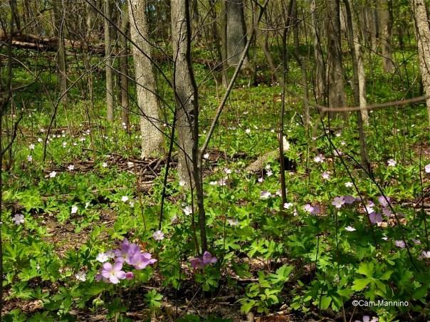 Wild geranium carpeting the forest floor