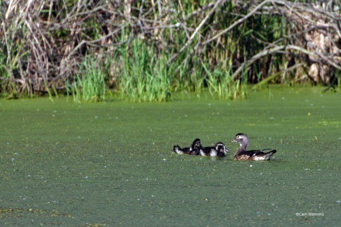 wood duck and 6 ducklings
