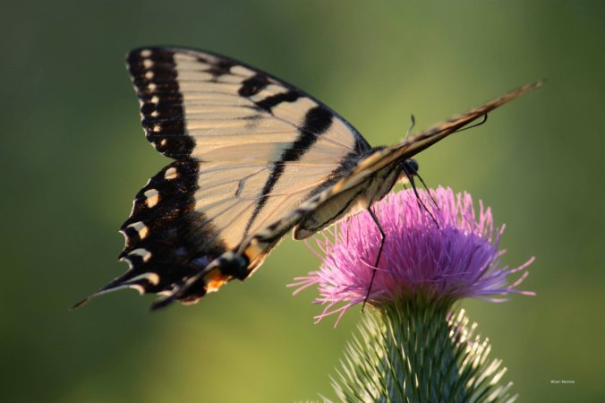 Yellow swallowtail butterfly closeup on bull thistle