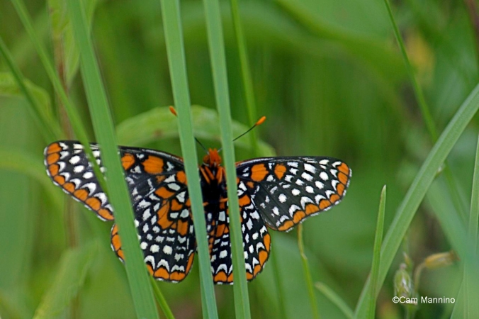 baltimore checkerspot 4