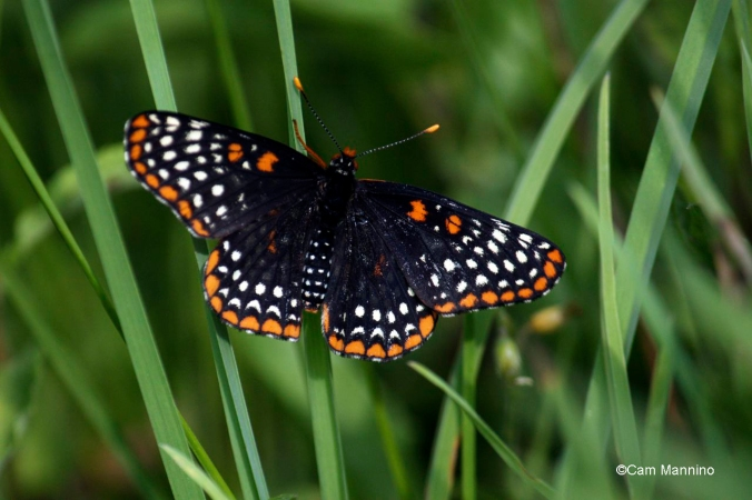 baltimore checkerspot top3