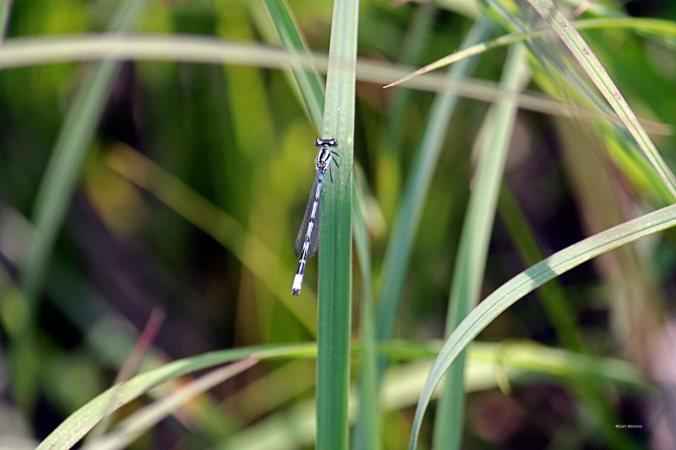 blue damsel fly