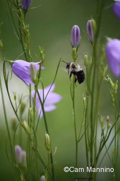 bumblebee in native bed
