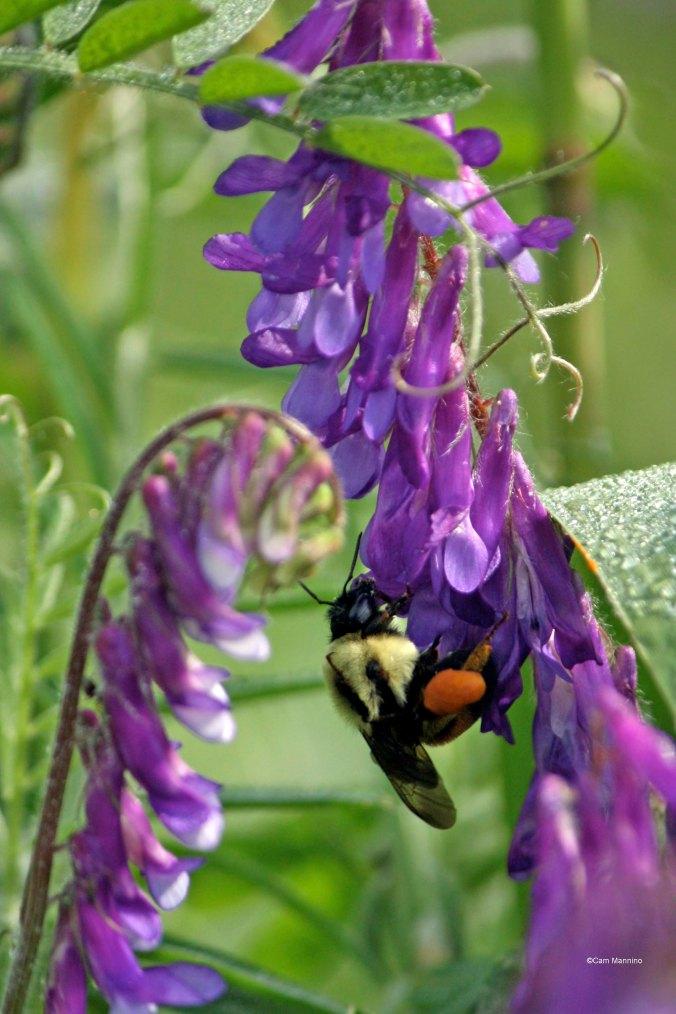 bumblebee jodpurs vetch