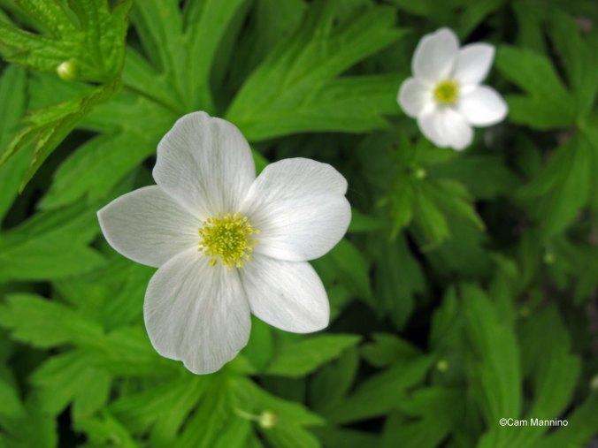 Canada anemone closeup