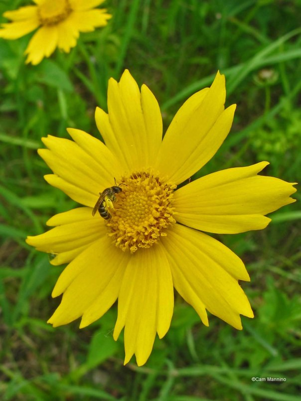 coreopsis w hover fly2
