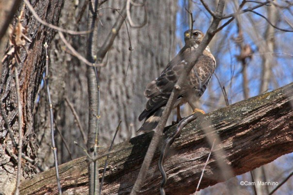 cr cooper's hawk with snake