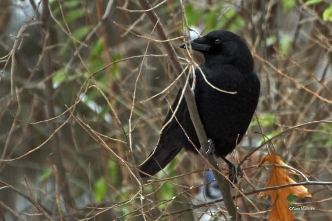 crow closeup2