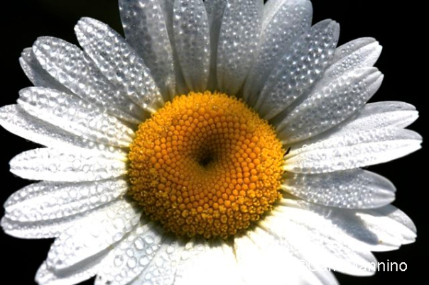 Daisy closeup med size