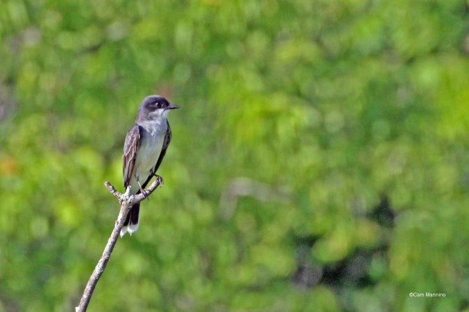 Eastern Kingbird2