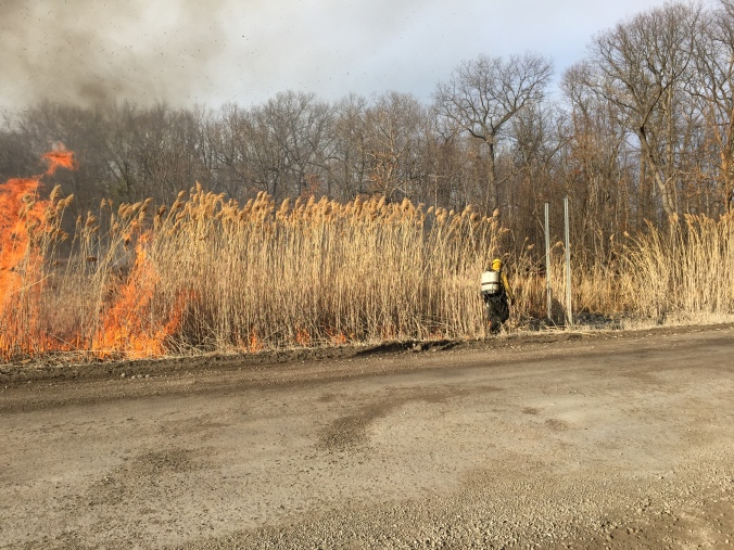 Using controlled burning to remove dead Phragmites that was treated in fall 2014. Burning will not kill Phragmites! We removed the dead thatch to allow native plants to grow again.