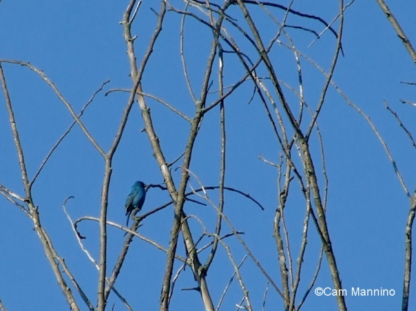 indigo bunting 1 - Version 2