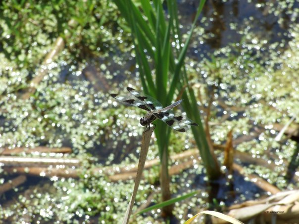 June 10 dragonfly poised on reed