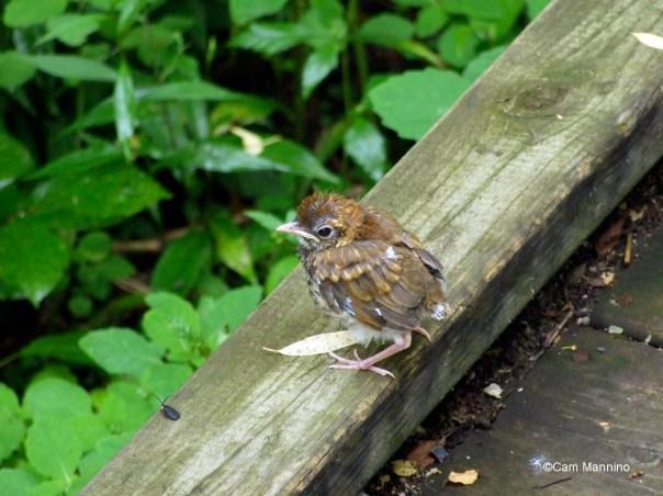 large high fledgling