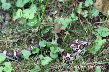 Native snakes like the Milk Snake eat birds eggs but need protection as a native species.