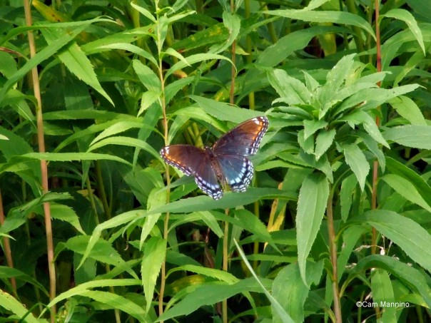red -spotted purple
