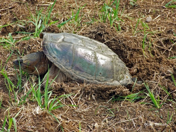 snapper laying eggs