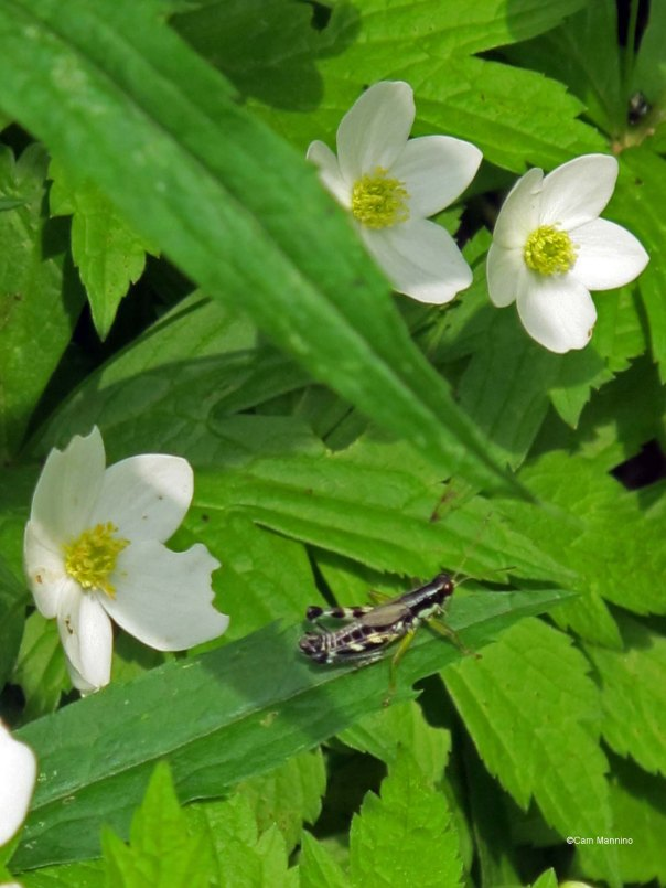 spring grasshopper4