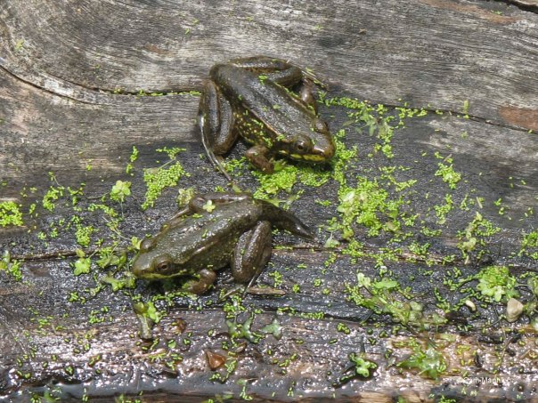 two froglets with partial tails
