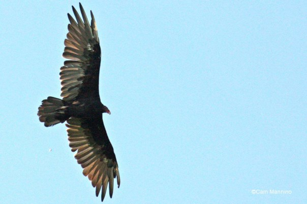 vulture closeup_2