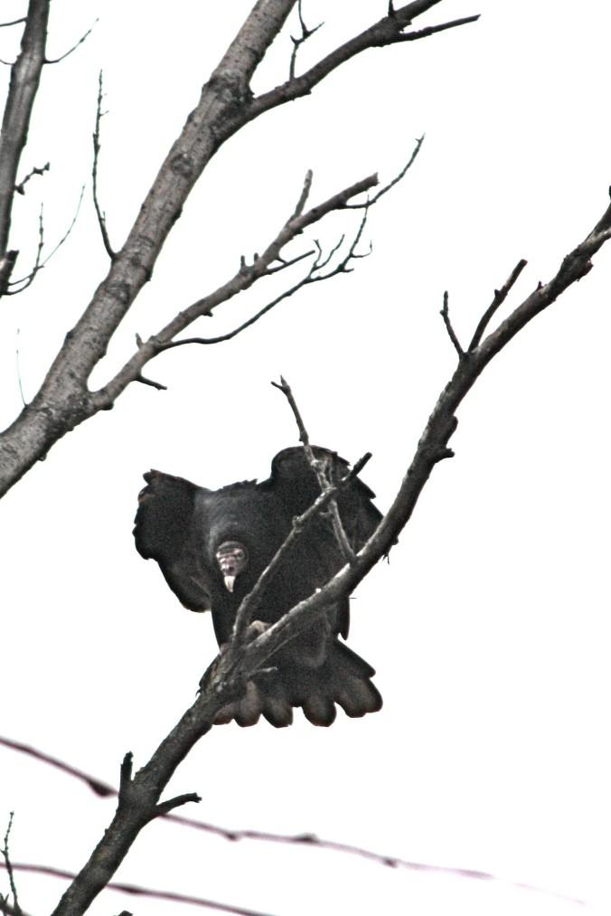 vulture perched