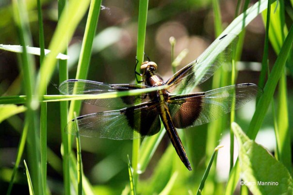 widow skimmer female