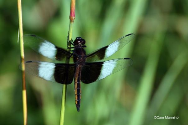 Widow Skimmer male