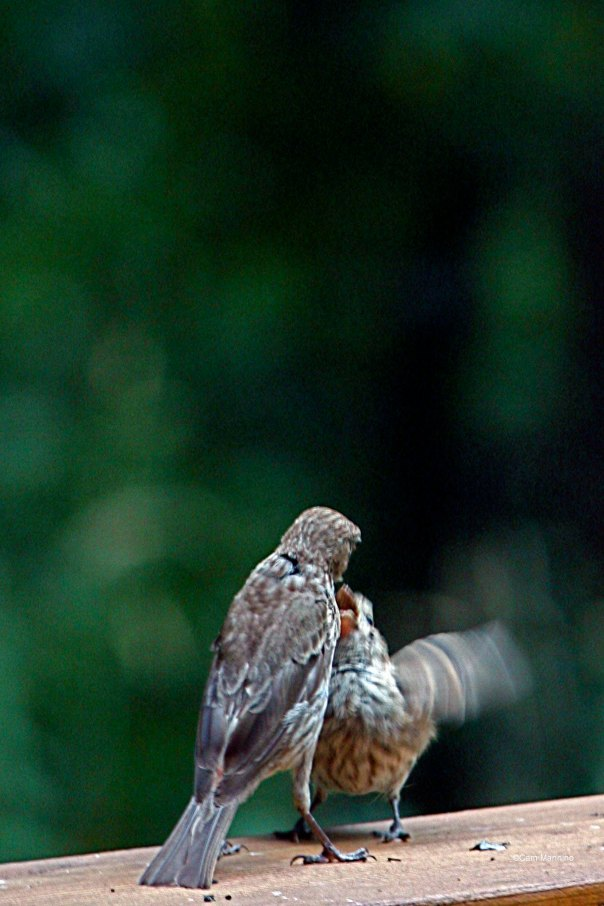 adult and fledgling house finch